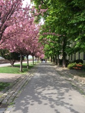 Cherry blossom trees in Budapest, Hungary