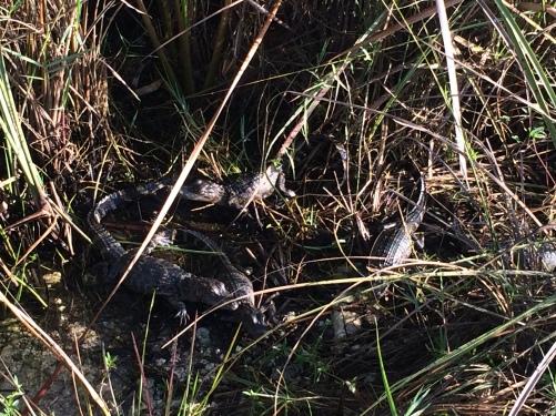 baby-alligators-florida-everglades