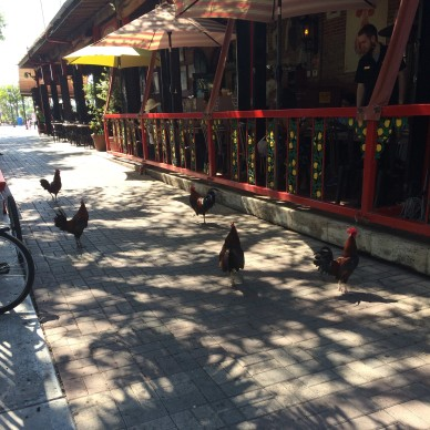 Key_West_Roosters